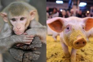 transplant-maimuta-porc